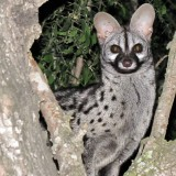 genet-spotted