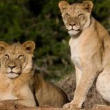 addo-lions-998