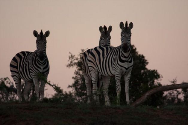 Zebra's At Sunset