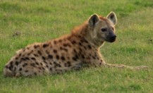 Spotted Hyena Calling
