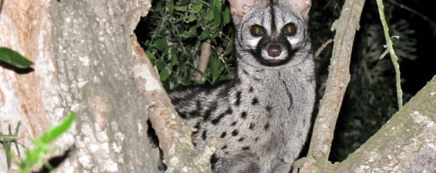 Spotted Genet Rescue