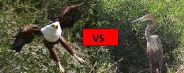 Goliath Heron vs Fish Eagle
