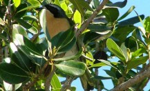 Olive Bush Shrike